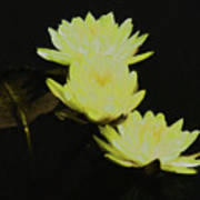 Pale Yellow Water Lilies Poster