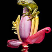Palm Treefrog On A Banana Flower Poster
