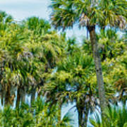 Palmetto Palm Trees In Sub Tropical Climate Of Usa Poster