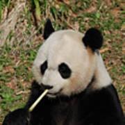 Panda Bear Eating Bamboo Shoots Up Close And Personal Poster