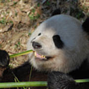Panda Bear Showing His Teeth As He Munches On Bamboo Poster