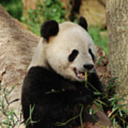 Panda Bear With Teeth Showing While He Was Eating Bamboo Poster