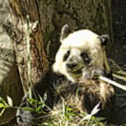 Panda Breakfast Poster
