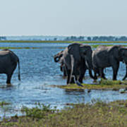 Panorama Of Elephant Herd Drinking From River Poster