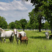 Panorama Of White Lipizzaner Mare Horses With Dark Foals Grazing Poster