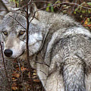 Panoramic Gray Wolf Yukon Poster