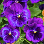 Pansies In Purple And Blue Poster