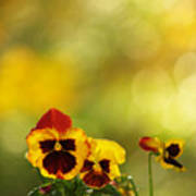 Pansies In The Autumn Glow Poster