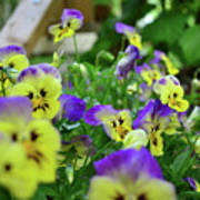 Pansy Bed Poster