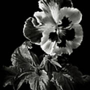 Pansy In Black And White Poster