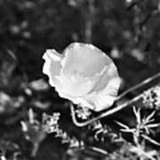 Paper Flower In B And W Poster
