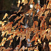 Papery Beech Leaves Poster