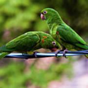 Parakeet Couple Poster