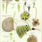 Parasites And Insectivorous Plants Poster