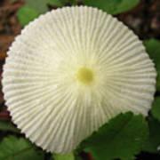 Parasol Mushroom Poster