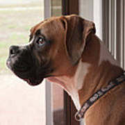 Parker The Boxer Poster