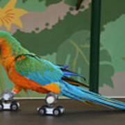 Parrot On Skates Poster by Ruth Hallam