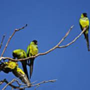 Parrot Squabble Poster