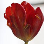 Parrot Tulip 10 Poster by Robert Ullmann