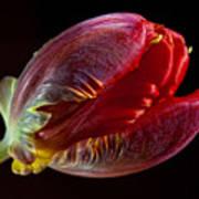 Parrot Tulip 11 Poster by Robert Ullmann