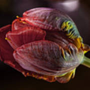 Parrot Tulip 4 Poster
