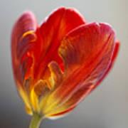 Parrot Tulip 9 Poster