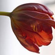 Parrot Tulips 14 Poster by Robert Ullmann