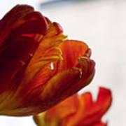 Parrot Tulips 18 Poster by Robert Ullmann