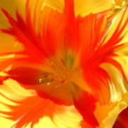 Parrot Tulips Poster