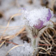 Pasqueflower In The Snow Poster