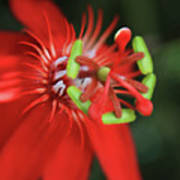 Passiflora Vitifolia Scarlet Red Passion Flower Poster