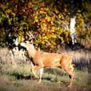 Passing Buck In Autumn Field Poster
