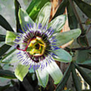 Passion Flower Close-up Poster