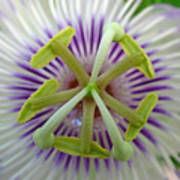 Passion Flower Poster by Juergen Roth