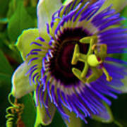 Passion-fruit Flower Poster