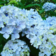 Pastel Blue Hydrangea Flowers Green Garden Floral Poster