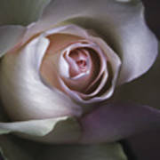 Pastel Flower Rose Closeup Image Poster by Artecco Fine Art Photography