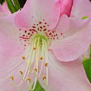 Pastel Pink  Azalea Poster