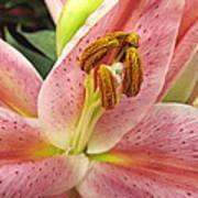 Pastel Pink Lily Poster