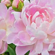 Pastel Pink Peonies Poster