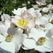 Pastel White Yellow Pink Roses Garden Art Prints Baslee Poster