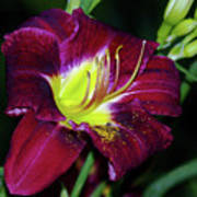 Patricia Neal Daylily Poster