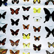 Pattern Made Out Of Many Different Butterfly Species Poster
