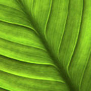 Peace Lily Leaf Poster