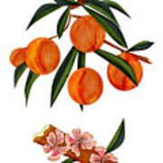 Peach And Peach Blossoms Poster