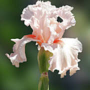 Peach Bearded Iris 2 Poster