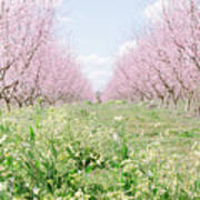 Peach Orchard 4 Poster