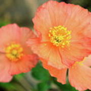 Peach Poppies Poster
