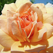 Peach Rose Art Prints Roses Flowers Giclee Prints Baslee Troutman Poster
