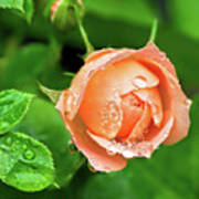 Peach Rose In The Rain Poster